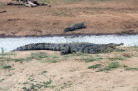 Erindi crocodile sleeping