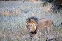 Erindi lion walking