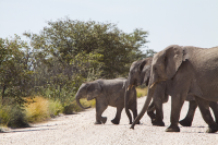 Etosha elephants crossing street