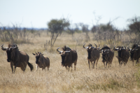 Etosha herd of wildebeests