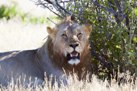 Etosha young male lion