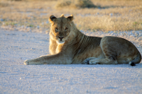Etosha young lion blocking pad