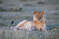 Etosha young lion evening sun