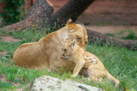 lioness with lion cub