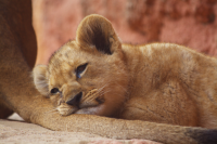 Sleeping on lioness tuft