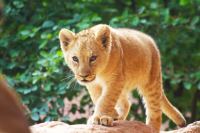 lion cub on the walk