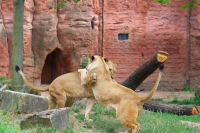 lioness fighting