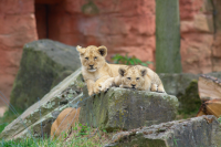 Two lion cubs dozing