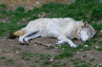 white wolf sleeping