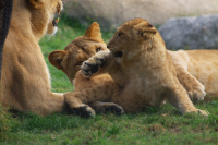 lioncub and lionesses