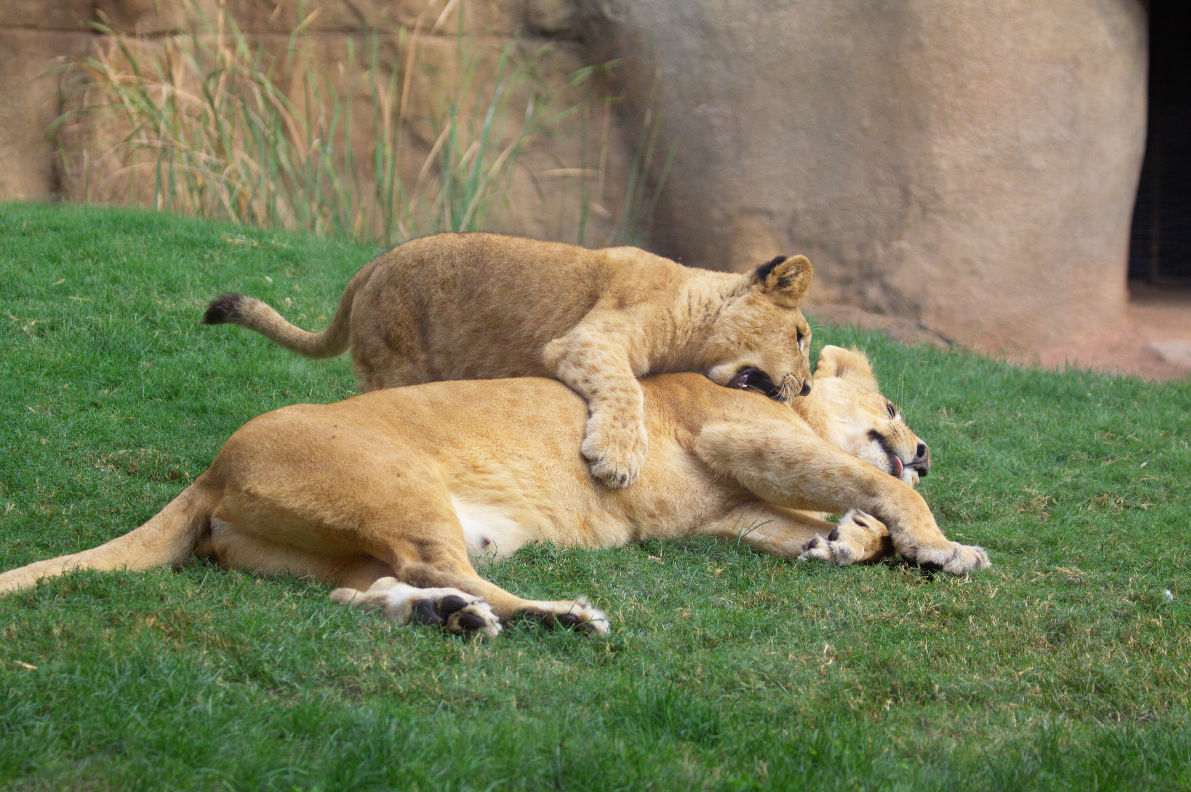 Lion and lioness and cubs