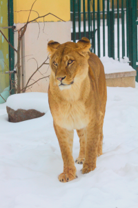 friendly lioness snow