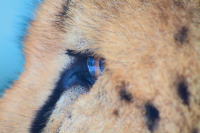the eye of the cheetah