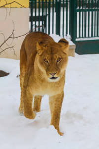 nice looking lioness in the snow