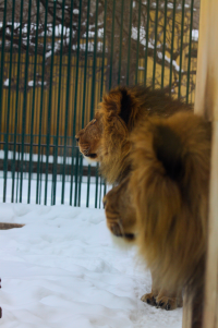 skeptical lions about the snow