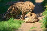 cheetah with her kid