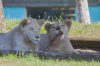 white lions stick