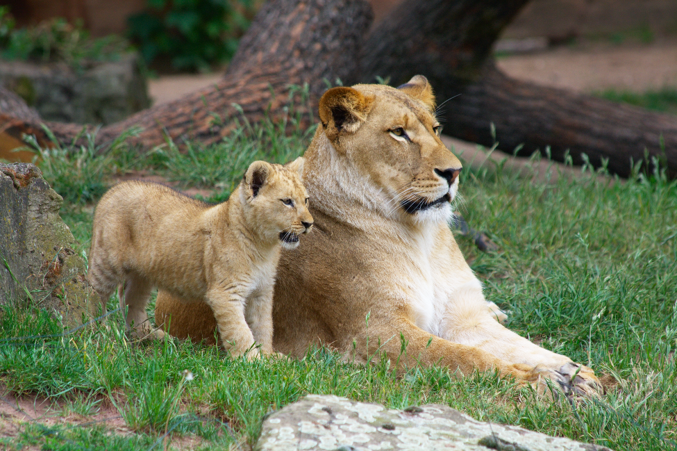 Images of Lioness And Baby Cub - #rock-cafe